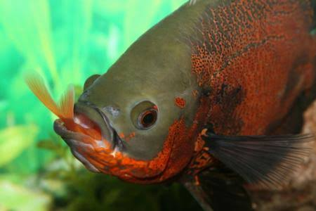 How to feed live food to your fish