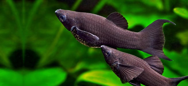 How to Breed Molly Fish?